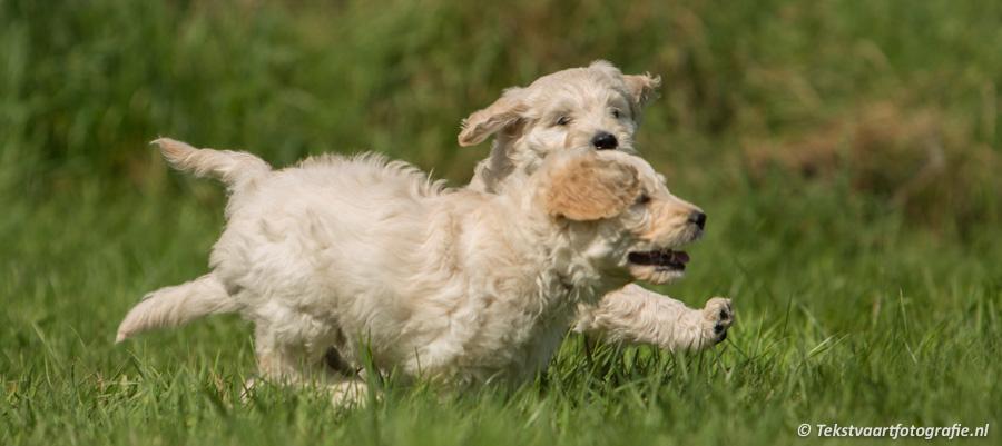 Fotoshoot Golden Doodle pups